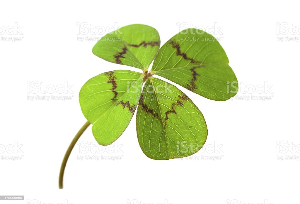 four-leafed clover stock photo