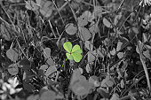 An isolated four-leaved clover