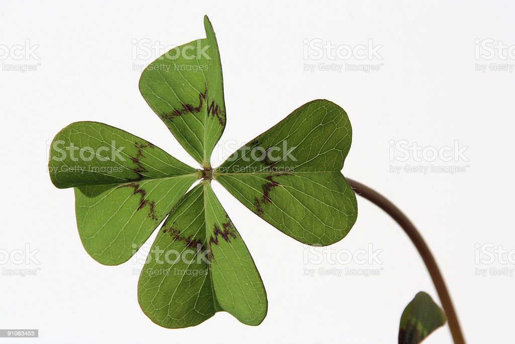 Four-leaved clover # 1 royalty-free stock photo