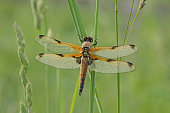 The Four-spotted Chaser is easily recognised by the two dark spots on the leading edge of each wing - giving this species its name