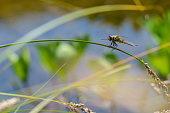 Four-spotted chaser, Libellula quadrimaculata, dragonfly resting on reed stem in front of a blurred blue-green background of a pond