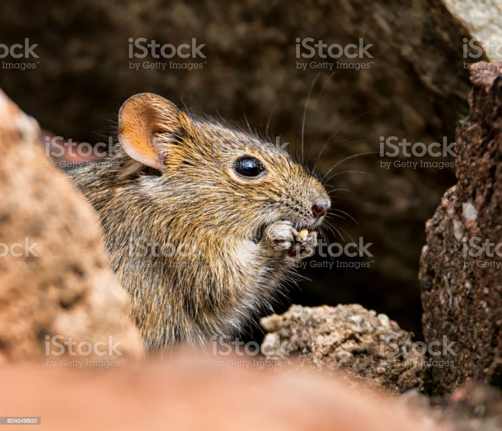 Four-striped Grass Mouse stock photo