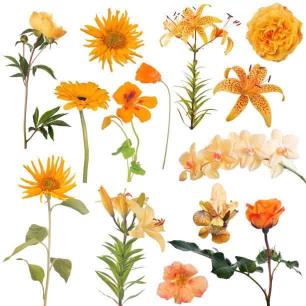 Fourteen orange flowers collection on white picture id1092057398?b=1&k=6&m=1092057398&s=612x612&w=0&h=rzeaatjzbood3hyj6g7bx0yugh22zqpzwhhxl8bi2fg=