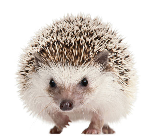 Four-toed Hedgehog, Atelerix albiventris, 2 years old, in front of white background stock photo