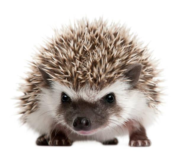 vier-toed hedgehog, atelerix albiventris, 3 weken oud, voor witte achtergrond - stekels stockfoto's en -beelden