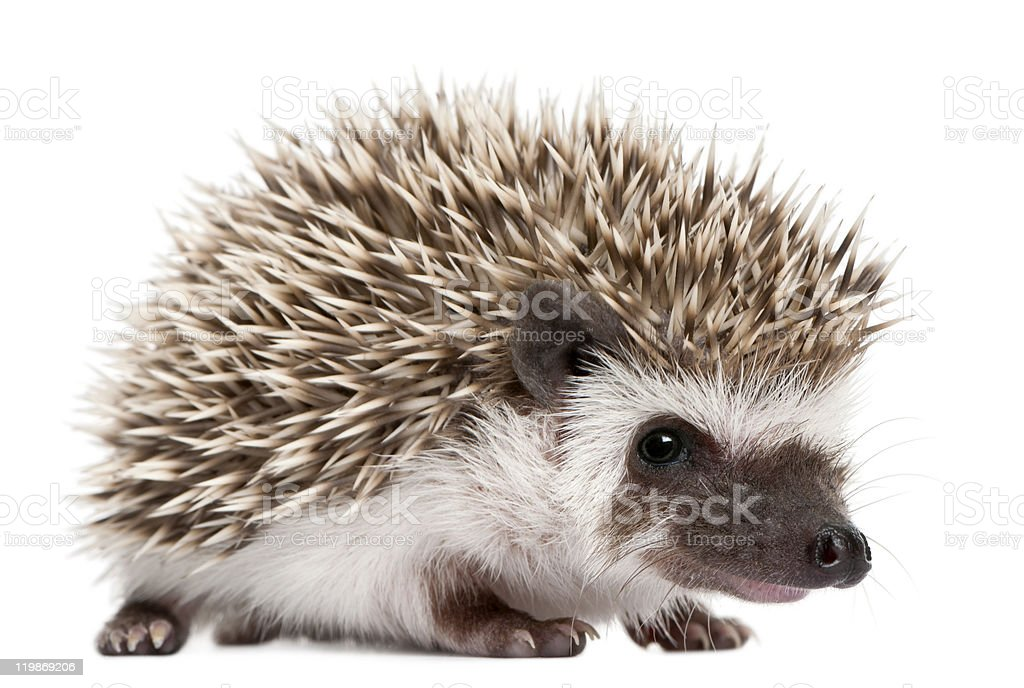Four-toed Hedgehog, Atelerix albiventris, 3 weeks old, white background. stock photo