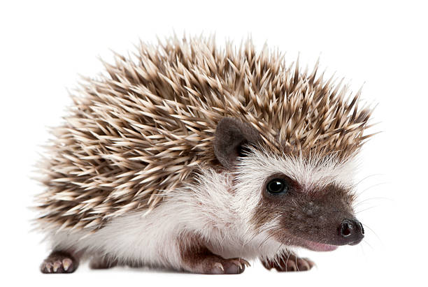 Four-toed Hedgehog, Atelerix albiventris, 3 weeks old, white background. stock photo