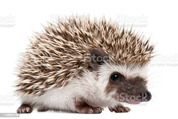 Photo of Four-toed Hedgehog, Atelerix albiventris, 3 weeks old, white background.