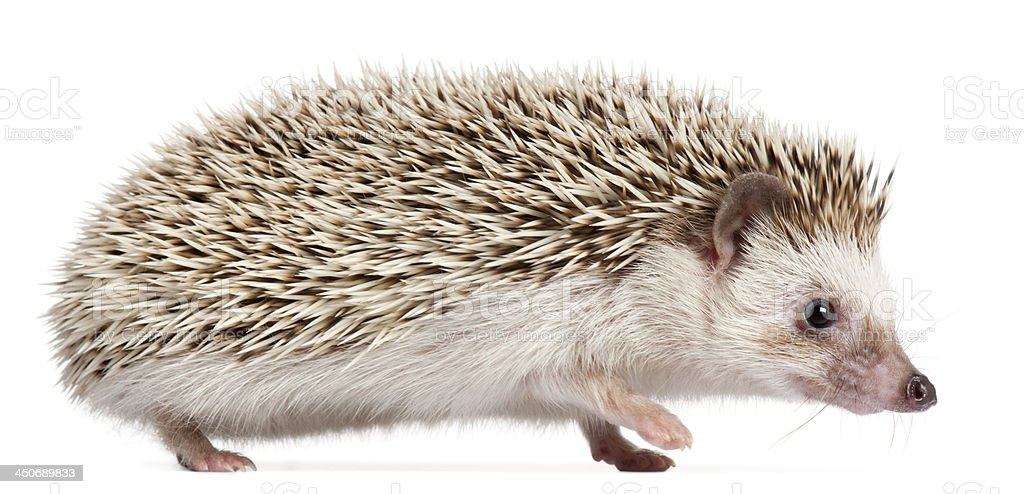 Four-toed Hedgehog, Atelerix albiventris, 6 months old royalty-free stock photo