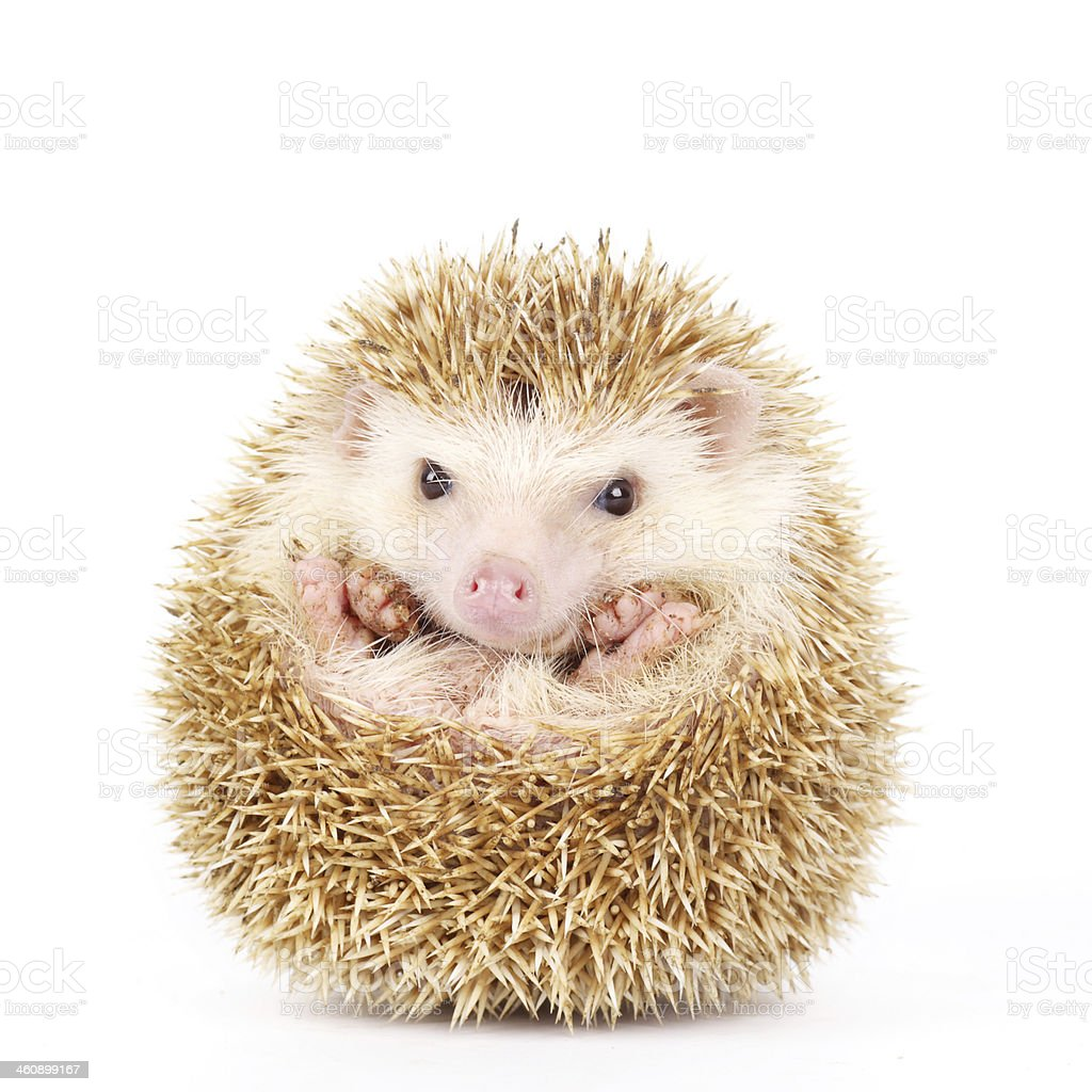 Four-toed Hedgehog, Atelerix albiventris stock photo