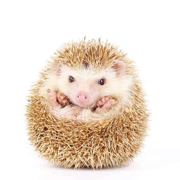 Four-toed Hedgehog, Atelerix albiventris stock photo