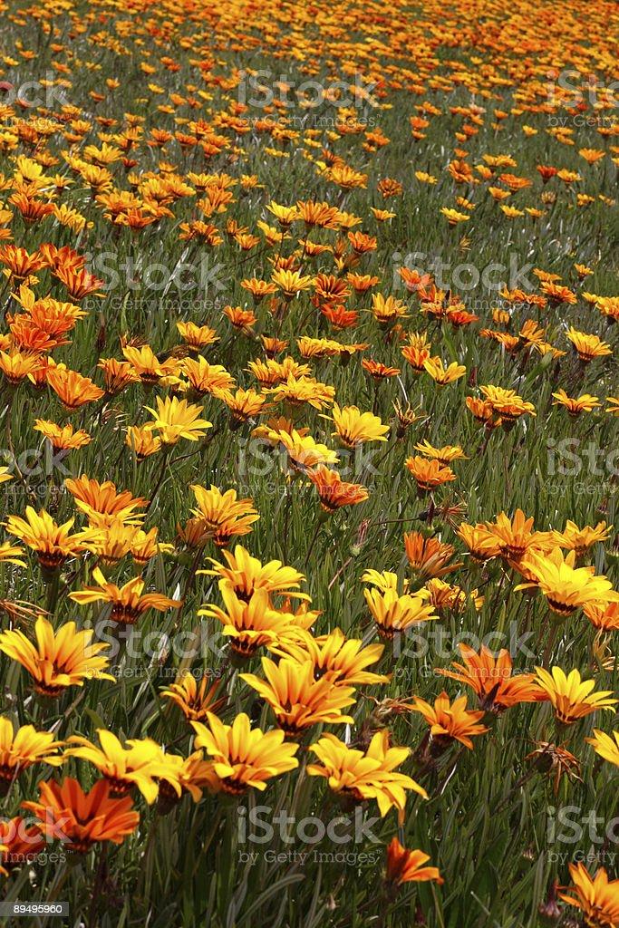 Fower Field royaltyfri bildbanksbilder