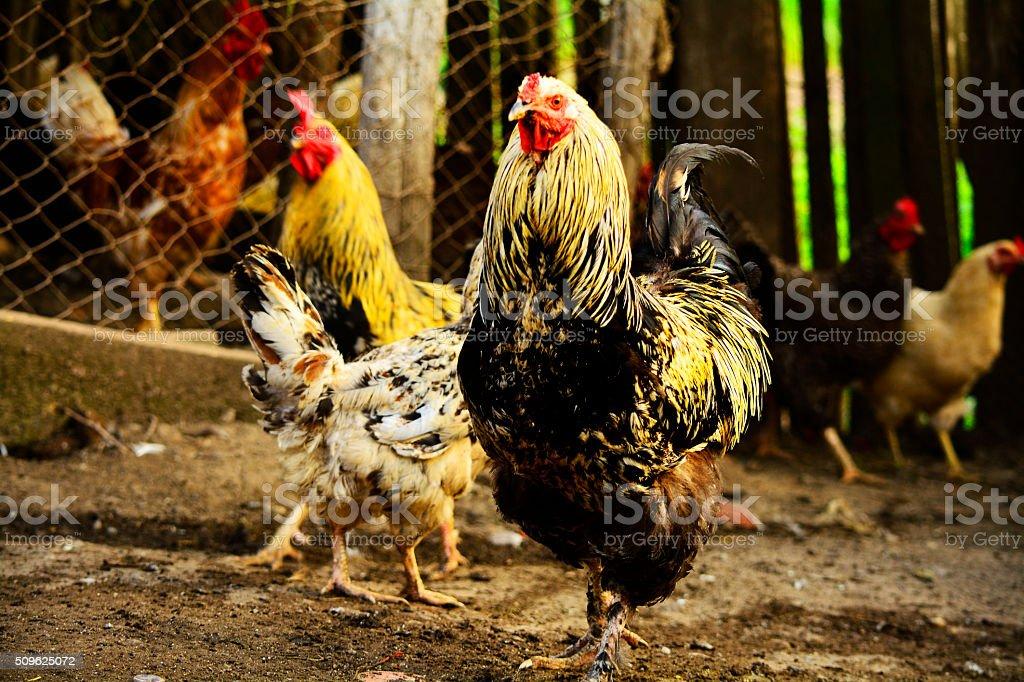 fowls in the farm stock photo