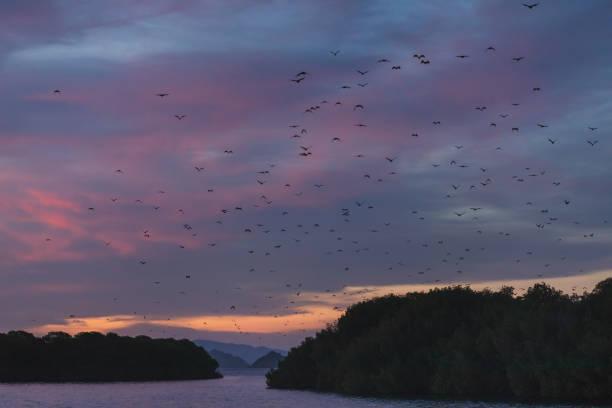 fox fledermaus fliegt in den sonnenuntergang himmel. inselfliegender fuchs oder variabel fliegender fuchs (pteropus hypomelanus). - wasserfledermaus stock-fotos und bilder