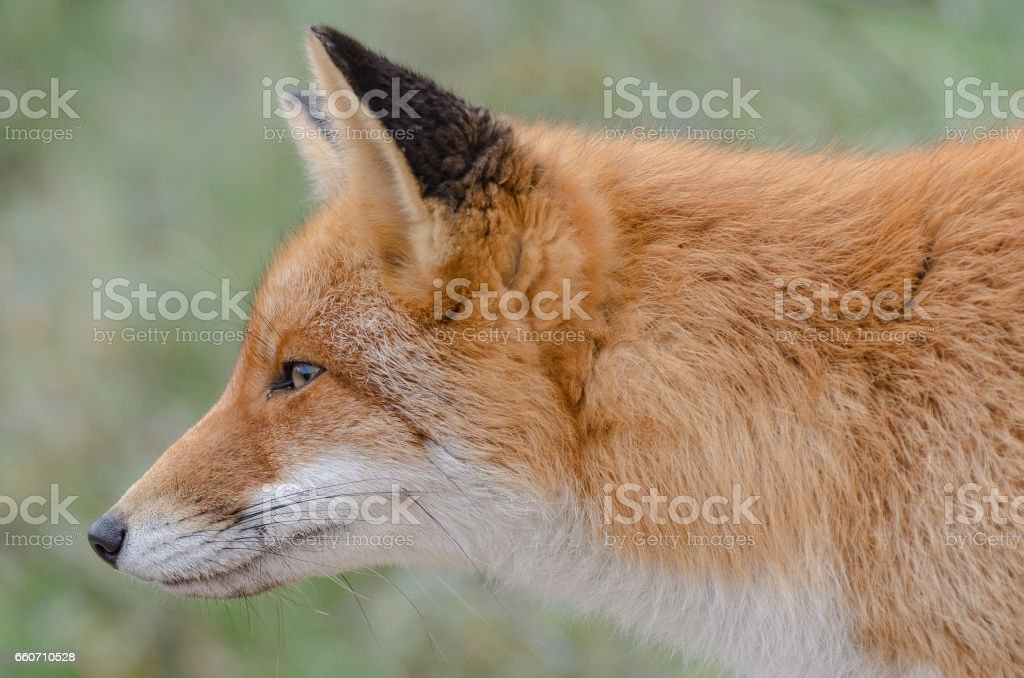 Fox close-up stock photo