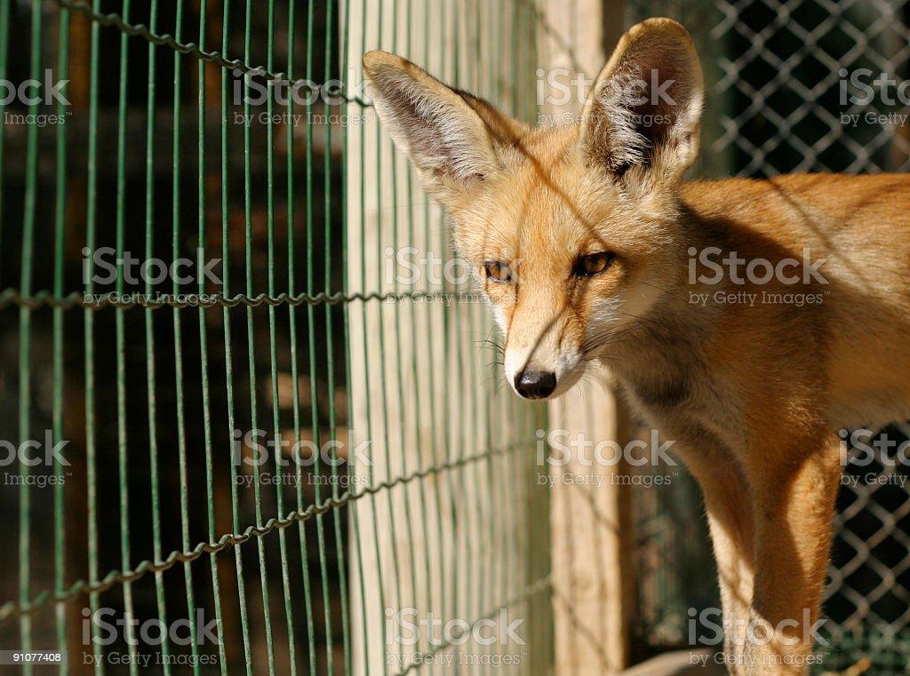 Fox cub stock photo