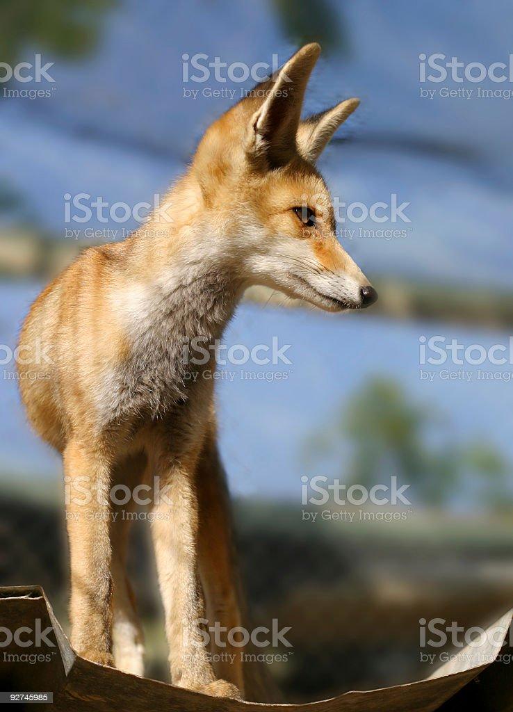 fox cub Lizenzfreies stock-foto