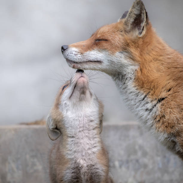 Fox cub with mother in tender touch at the cemetery Fox cub with mother in tender touch at the cemetery animal family stock pictures, royalty-free photos & images