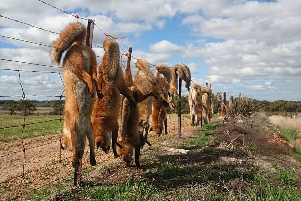 Fox cull - foto de acervo