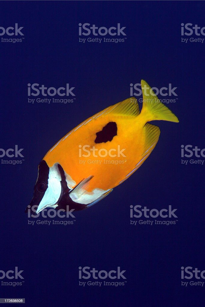 Fox Faced Rabbit Fish royalty-free stock photo