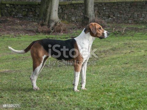 Single fox hound standing