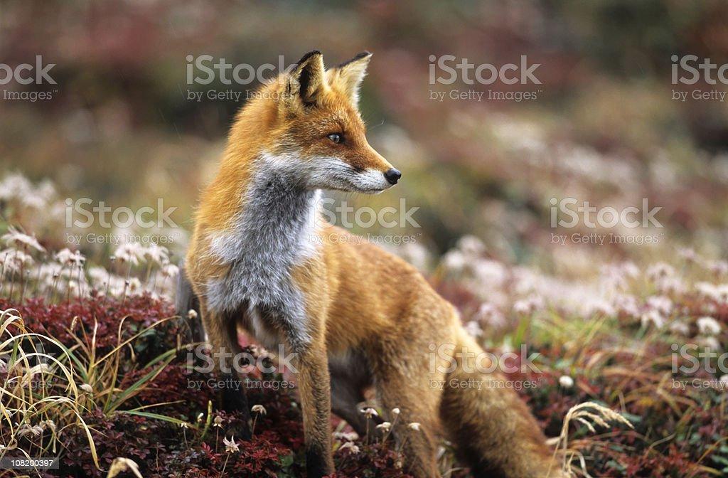 Fox em uma montanha outono - foto de acervo