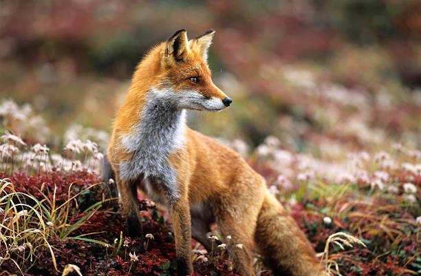 fox en otoño en las montañas - zorro fotografías e imágenes de stock