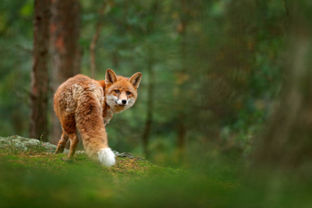 Fox in green forest. Cute Red Fox, Vulpes vulpes, at forest with flowers, moss stone. Wildlife scene from nature. Animal in nature habitat. Fox hidden in green vegetation. Animal, green environment. stock photo