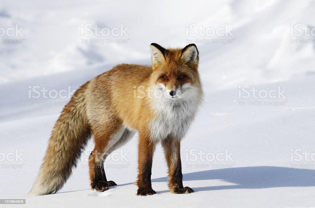 Fox na Neve Acumulada pelo Vento. - foto de acervo
