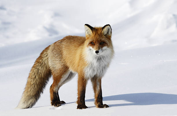fox in snowdrift. - fox stock photos and pictures