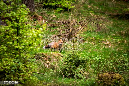 istock A fox in the big forest 1270600396
