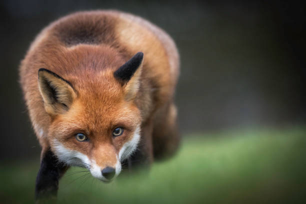 Fox in the countryside stock photo