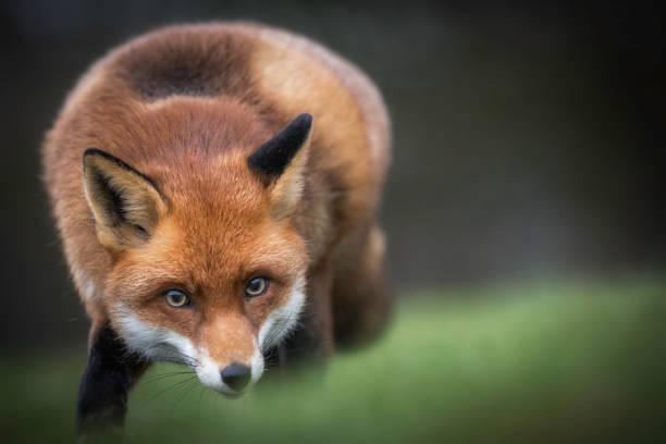 fox en el campo - zorro fotografías e imágenes de stock