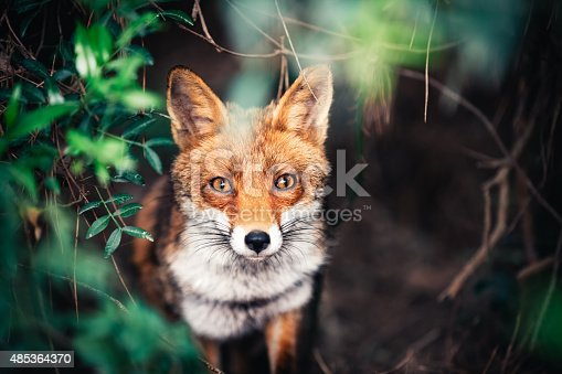 Portrait of curious red fox hiding in the bush.