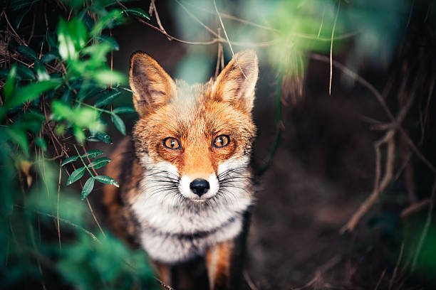 fox nel prato - fauna selvatica foto e immagini stock