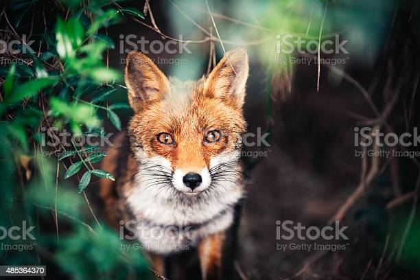 Photo of Fox In The Meadow