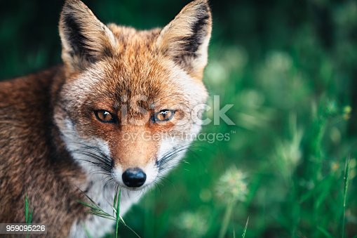 Portrait of curious red fox sitting in the meadow.