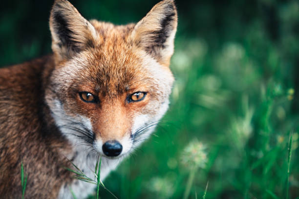 fox en la pradera - zorro fotografías e imágenes de stock