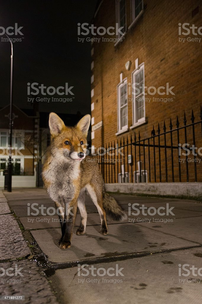 Fox in the streets of a neighborhood stock photo
