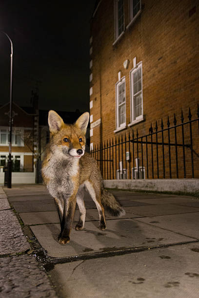 Red fox-vulpes vulpes - foto de stock