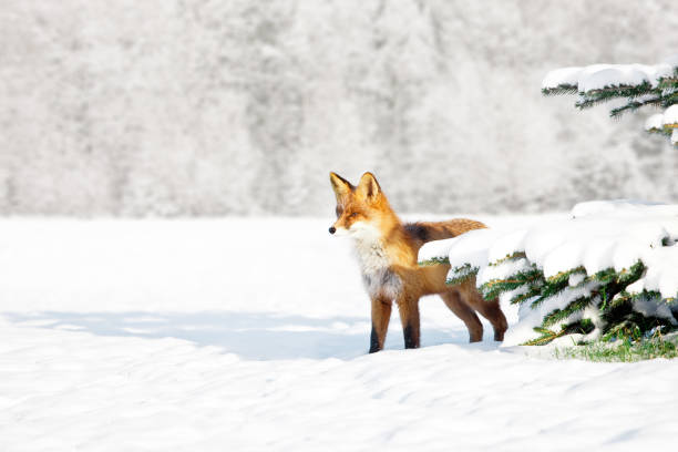 fox in winter - fox stock photos and pictures