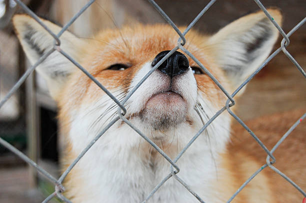 fox is in a cage stock photo