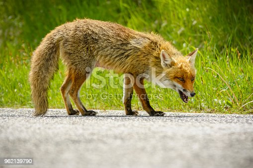 Fox is looking for food