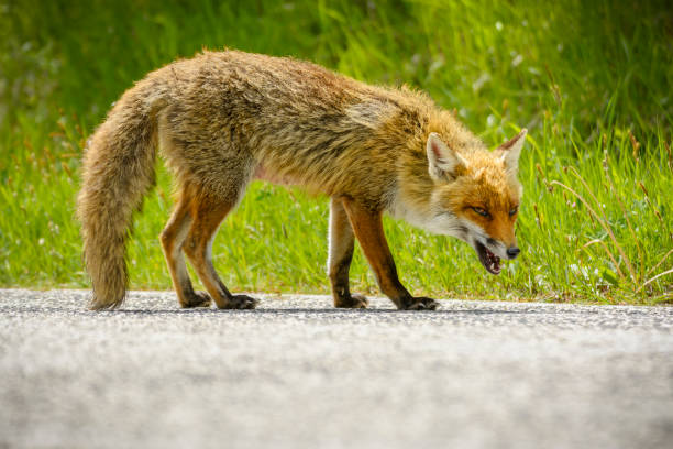 fox is looking for food - volpe foto e immagini stock