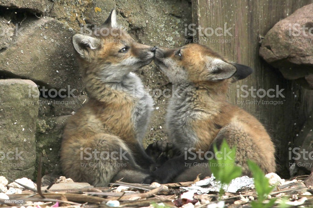 Fox Kiss photo libre de droits