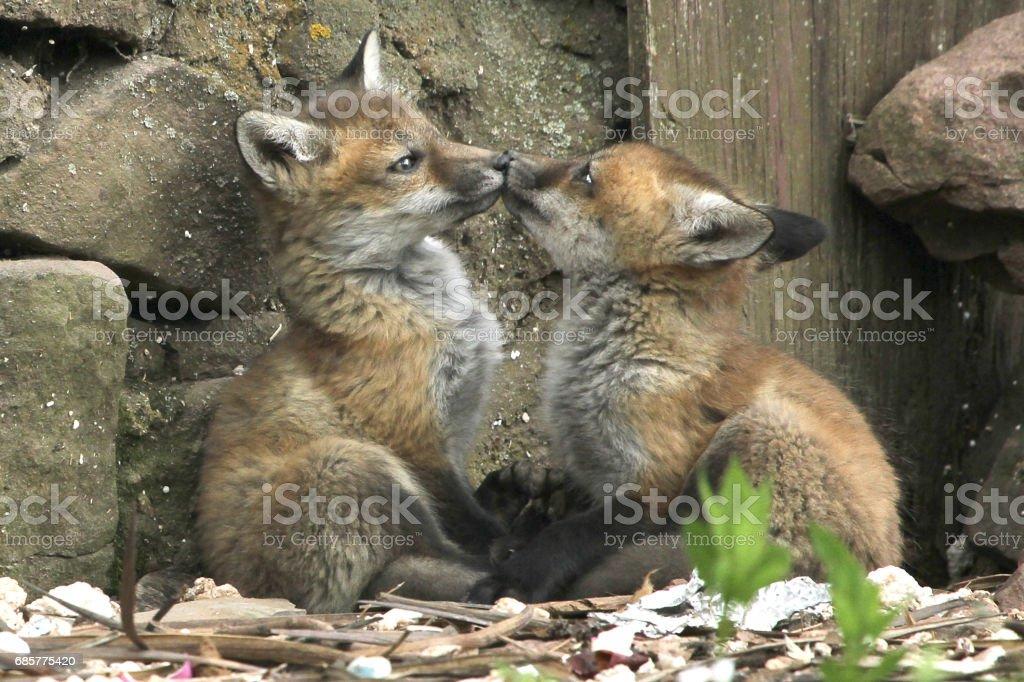 Fox Kiss royalty-free stock photo