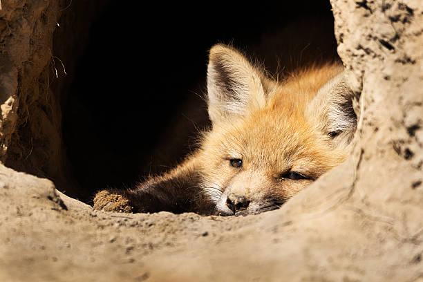Fox Kit stock photo