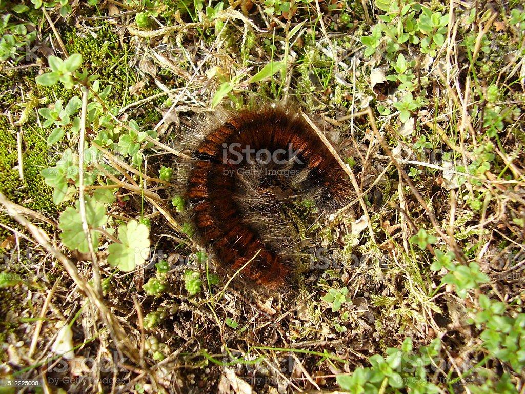 Fox Moth Caterpillar stock photo
