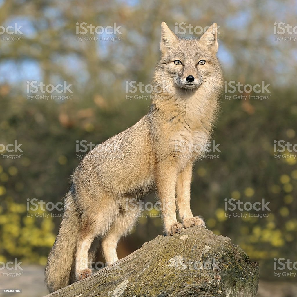 Fox on a rock royalty-free stock photo