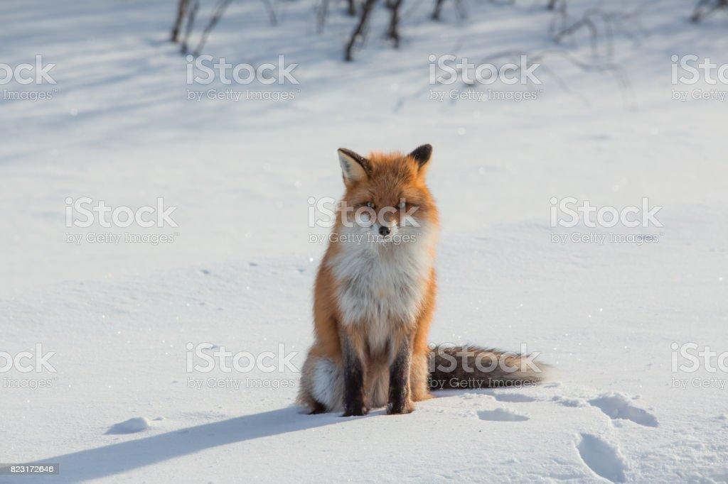 フィンランドの雪をフォックスします。 ストックフォト